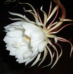 Cactus orquidea (lacha2008) Tags: naturaleza epiphyllumoxypetalum topshots mixedflowers frameit floresblancas photosandcalendar excelllentsflowers natureselegantshots wonderfulworldofmacro exquisiteflowers mimamorflowers floraanffaunaoftheworld flickrflorescloseupmacros panoramafotografico cactusorquidea theoriginalgoldseal mygearandme mygearandmepremium mygearandmebronze mygearandmesilver mygearandmegold mygearandmeplatinum mygearandmediamond mygearandmeplatinium rememberthatmomentlevel4 rememberthatmomentlevel1 flickrsfinestimages1 flickrsfinestimages2 flickrsfinestimages3 flickkrsportal magicmomentsinyourlifelevel2 magicmomentsinyourlifelevel1 rememberthatmomentlevel2 rememberthatmomentlevel3 magicmomentsinyourlifelevel3 magicmomentsinyourlifelevel4 rememberthatmomentlevel7 rememberthatmomentlevel9 rememberthatmomentlevel5 rememberthatmomentlevel6 rememberthatmomentlevel8 rememberthatmomentlevel10 vigilantphotographersunite frameitlevel3 frameitlevel2 frameitlevel4 frameitlevel5 frameitlevel6 frameitlevel7 frameitlevel8 frameitlevel9 frameitlevel10