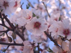 my darling pretty (grace_tee) Tags: pink blue spring haiku almond explored