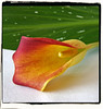 Calla (Crisa) Tags: red flower green calla proudshopper