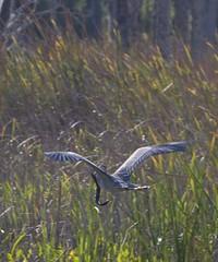 GBH Captures a Greater Siren (Siren lacertina) - Not aTwo-toed Amphiuma (Amphiuma means), a Lesser Siren (Siren intermedia) or Even an American Freshwater Eel (Anguilla rostrata) (final) (Laurie-B) Tags: bird birds flying wings feeding florida eating flight amphibian aves salamander wetlands fl eel predator ornithology greatblueheron avian treatment tertiary acquatic ardeaherodias gbh orlandowetlandspark laurieb nikond80 dpca 332009 twotoedamphiuna twotoedamphiuma amphiunameans lbricephoto dailynaturetnc10 photocontesttnc10