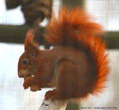 Back in the red... (law_keven) Tags: red england animal kent furry squirrel dof bokeh critter furryfriday wildwood redsquirrel explore500 vosplusbellesphotos