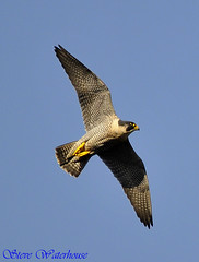 PEREGRINE FALCON (spw6156) Tags: uk copyright lens hand steve iso 400 falcon mm 500 held nationaltrust raptors waterhouse peregrine plymbridge cannquarry spw6156 stevewaterhouse plymperegrineproject plymbridgeperegrinefalcons copyrightstevewaterhouse