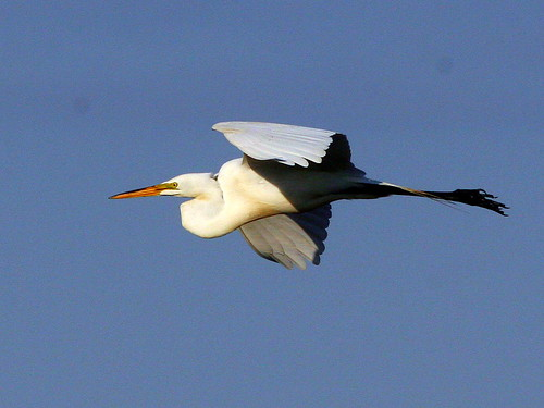 Great Egret In Flight Sequence