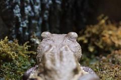 Smooth-sided toad_2 (eyelyft) Tags: blue macro colors chorus toads exhibition frog exotic toad frogs poison amphibians dart cosi bufo guttatus smoothsided