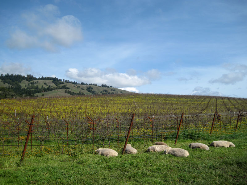 searanch: navarro- sheep!