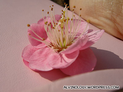 A sakura flower