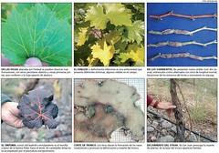 Las infecciones por virus son preocupantes en los viñedos