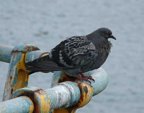 11240 - Feral Pigeon on Mumbles Pier