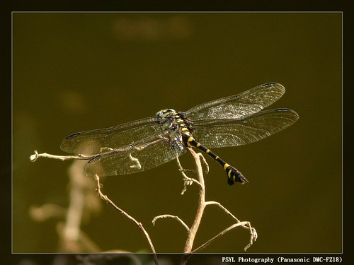 Common Flangetail (Ictinogomphus rapax) - 粗鉤春蜓
