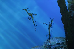 weedy sea dragons (beam-of-moon) Tags: california aquarium montereybayaquarium seahorses oceanlife weedyseadragons
