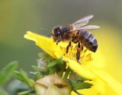 Gold miner (Steve-h) Tags: macro bee yellow flower green beige canonf28100mmusmmacrolens canon eos 500d steveh platinumheartaward