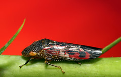 Sharpshooter Sees Red (Modo Frodo's Cabinet of Curiosities) Tags: hibiscus leafhopper redhibiscus glassywingedsharpshooter homalodiscavitripennis redwingedleafhopper