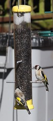 Adult Goldfinches
