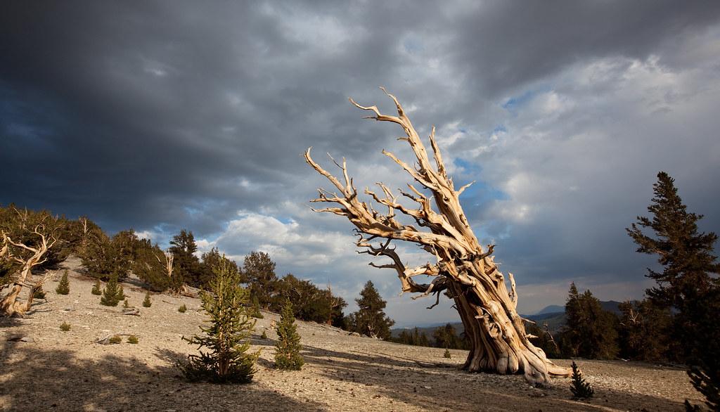 Pinus longaeva: el árbol más antiguo del mundo