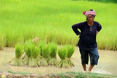 SP9_8982 (Carl LaCasse) Tags: cambodia rice ministry harvest traveling planting ignitetheworldministries riceharvet
