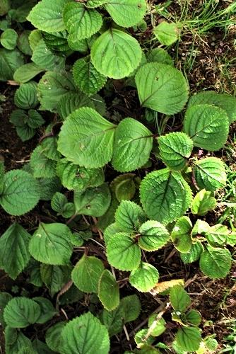 Plectranthus ciliatus (rq) - 01