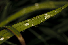 Leaves (unhh) Tags: water grass leaf focus dof bokeh dew raindrops