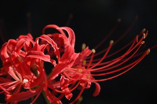 Spider Lily 2009 - その7
