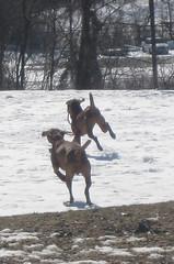 vizsla (cchrist1) Tags: horses cats baby dogs animals puppy pittsburgh vizsla wannstache