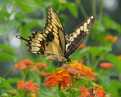 Giant Swallowtail - lifer butterfly!