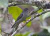 Pink-legged Graveteiro_Acrobatornis fonsecai (Ciro Albano - NE Brazil Birding) Tags: brazil bahia northeast fbwnewbird fbwadded acrobatornis graveteiro camacan fbsnewbird pinkleggedgraveteiro acrobatornisfonsecai