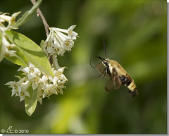 Snowberry Clearwing - Hemaris diffinis (emace) Tags: nature animal fauna bug insect flying inflight illinois spring moth honeysuckle hovering hummingbirdmoth centralillinois snowberryclearwing hemarisdiffinis casscounty jepc jimedgarfishandwildlifeconservationarea