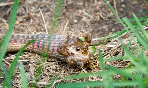 snake eating toad