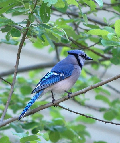 Blue Jay doing bird stuff