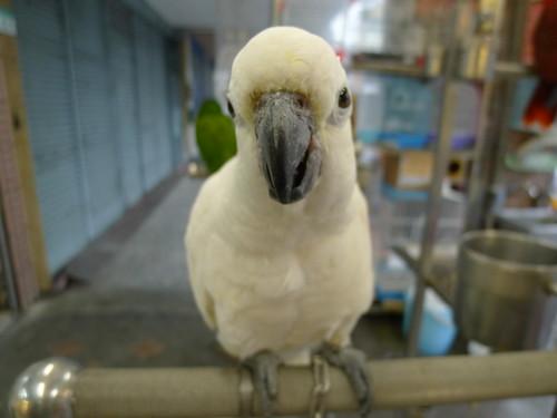 萬華鳥街-白色鸚鵡