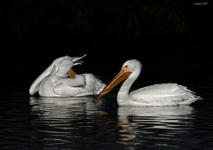 White Pelican Dreams-For Marianne & PB (raineys) Tags: bird nature wildlife onblack americanwhitepelican naturesfinest calfiornia specanimal raineys avianexcellence vosplusbellesphotos dedicationtomariannepb