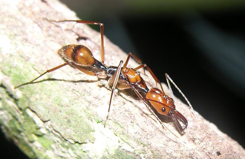 Trap Jaw Ant Queen Giant Trap-jaw Ant