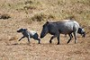 baby warthogs run with their mother
