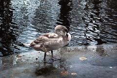 ... under cover ... (stillaliveandkickingaround) Tags: bird under cover schwan vogel lebada