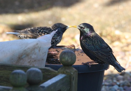 Starlings at an Icy Bucket