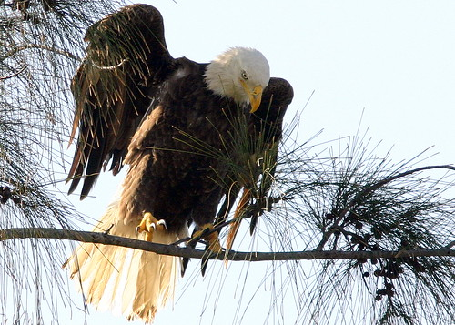 Eagle Grasps Twig 20090113