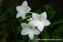 Araliya Flower (Rasika Ambepitiyage ()) Tags: flowers flower macro sony sri lanka alpha rare araliya a350