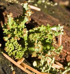 Cladonia gracilis ssp. turbinata (??) (dougwaylett) Tags: wild canada calgary native alberta cladonia fruticoselichen griffithwoodspark cladoniagracilissspturbinata