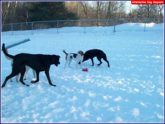 Rosco, Doug, Molly O, (Alternative Dog Daycare) Tags: ginger molly charlie rosco louie monty hurley doggiedaycare alternativedogdaycare