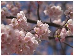 大寒桜 #03