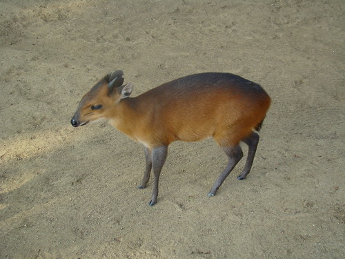 Red-flanked Duiker at the Los Angeles Zoo