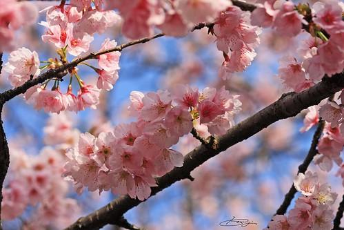 青空と安行桜