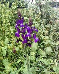 Fleurs sauvages  أزهار بريّة