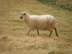 White sheep walking - Sandoy - Faroe Islands (Eileen Sand) Tags: white nature islands sheep natur faroeislands faroe fr hvtur faroes froyar frerne hvidt whitesheep foroyar sandoy seyur worldofanimals faroesesheep