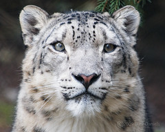 0903_Zoo_21_107 (Bodokitty) Tags: friends snowleopard woodlandparkzoo unciauncia blueribbonwinner pantherauncia platinumphoto vosplusbellesphotos flickrbigcats