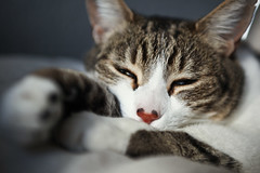 Mark II Milli! (laurenlemon) Tags: sleeping cat bokeh kitty naturallight newcamera milli march09 laurenrandolph laurenlemon canon5dmarkii