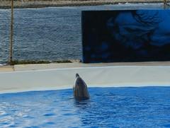 Muriendo para entretener!! Mediteranneo Marine Park Malta (CaptiveDolphins-vs-WildDolphins) Tags: malta dolphins shame delphinarium malte mediteraneo maltagozo marinelands mediterraneomarinepark captivedolphins themediteranneomarineparkinmaltaisashame unehonte unaverguenza dauphinscaptifs themediteranneomarineparkinsliemathemediteranneomarineparkinmalta themediteranneomarinepark dauphinsdelfines delfinescautivos