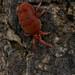 Lago di Lecco: ragnetto rosso