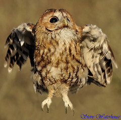 TAWNY OWL  '' (spw6156) Tags: copyright steve  iso 400 owl hunter raptors waterhouse tawny naturesfinest natureselegantshots thewonderfulworldofbirds spw6156 mmmilikeit stevewaterhouse copyrightstevewaterhouse