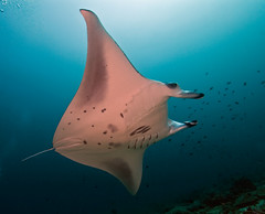 manta2015pcw (gerb) Tags: blue beautiful topv111 1025fav 510fav wow nice topv555 topv333 underwater topv999 scuba fv5 loveit pi 1224mmf4g topv777 d200 maldives manta tvp aquatica theperfectphotographer orcadivers sunkentreasureaward