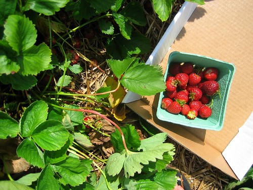 Picking Strawberries in Maine